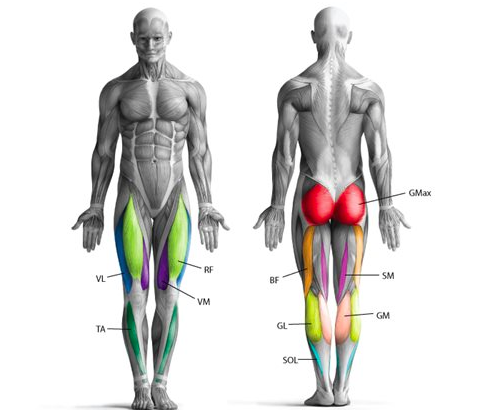 The Power of the Pedal Stroke – Anatomical View